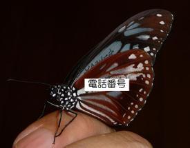 Asagimadara_2